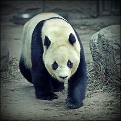 Panda. (rogilde - roberto la forgia) Tags: panda mammifero china cina pechino asia est oriente free libero cage zoo blackwhite bn sguardo intesa occhi riflesso incontri tocco touch square light luci kunfupanda
