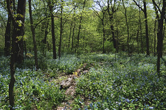 A warm spring day at Starved Rock (tylerjacobs) Tags: sony a6000 sigma 16mm f14 dc dn wide angle lens landscape starved rock state park illinois ottawa utica canyon spring summer warm flowers hiking nature explore blue bells flora forest trees glen hot