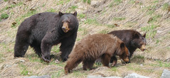 Black Bear and Cubs (stevecarney) Tags: whistler bc canada black bear callaghan valley grass beautiful cubs eating baby mammal animal gorilla wood people photoadd