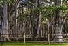 Kilauea Trees, Kauai (lycheng99) Tags: kilauea kauai trees shadows sunset landscape light lighting hawaii