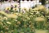 The earth laughs in flowers (83) (Polis Poliviou) Tags: naturepics naturephotography environment relax relaxing calming cyprus life living enjoyable colour colourful mediterranean travel beautyinnature rural countryside agricultural winter flowers plant floral flora winterblossom botany bulbs green white wallpaper herbs cyprustheallyearroundisland cyprusinyourheart yearroundisland zypern republicofcyprus κύπροσ cipro кипър chypre ©polispoliviou2018 polispoliviou polis poliviou πολυσ πολυβιου flowerbulb flowerbulbs ranunculus petals garden gardening gardeners vase colors spring yellow
