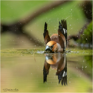 Male Hawfinch taking a bath