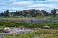 Meadow of wildflowers in bloom (Ken Zaremba) Tags: cascademountains geography goatrockswilderness lupin northamerica outdooractivities outdoorsports snoqualmienationalforest unitedstates upperrivercamp washington washingtonstate backpacking camping flowers hiking wildflowers yakima geo:lon=12137176036111 geo:state=washington geo:lat=46489115333333 geo:country=unitedstates geo:location=unnamedroad geo:city=yakima