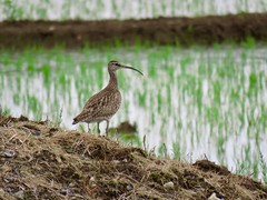 Whimbrel (jubewakayama) Tags: rice birding wader winbrel numenius pheaopus variegatus nature