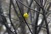 Goldfinch in Pin Cherry May 2018 (rgdaniel) Tags: goldfinch bird birdy birds yellow