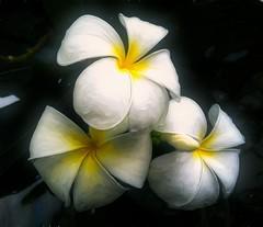 White Plumeria (Steve4343) Tags: steve4343 white plumeria yellow black color colors beautiful spring summer fresh bangkok thailand flowers flower greatphotographers
