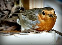 stolze Mama.... (karin_b1966) Tags: vogel bird tier animal garten garden natur nature 2018 rotkehlchen robin yourbestoftoday