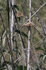 California Buckeye Butterflies (siamesepuppy) Tags: insect macro bug arthropod arthropoda invertebrate canon7dmkii 100mm entomology california thewildlandsconservancy oakglenca californiabuckeye butterflies butterfly