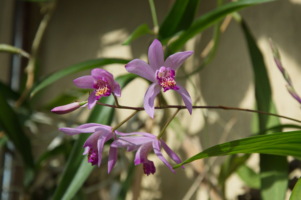 The World\'s Best Photos of bletilla and orchidaceae - Flickr Hive Mind