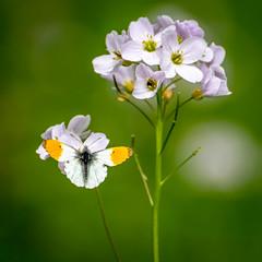 Orange tip butterfly (davebennett65) Tags: orangetip butterfly insect invertebrate wildlife nature nikon macro cuckooflower flower light spring