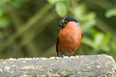 BULLFINCH (_jypictures) Tags: animalphotography animals animal canon7d canon canonphotography wildlife wildlifephotography wiltshire nature naturephotography photography pictures birdphotography bird birds birdwatching birding birdingphotography birders juvenile chick ukwildlife ukbirding ukbirds bullfinch