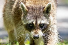 Raccoon, Procyon lotor (Kevin B Agar) Tags: florida mammals procyonlotor raccoon usa