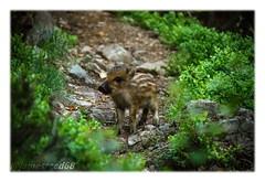 Sympathique rencontre (jamesreed68) Tags: marcassin chemin faune forêt 68 hautrhin alsace grandest nature canon eos 600d sewen