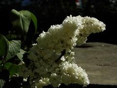 White lilac (cod_gabriel) Tags: liliac lilac garden braila brăila shallowfocus shallowdof shallowdepthoffield dof depthoffield bokeh