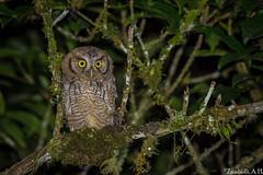 Megascops choliba (azambolli) Tags: megascops coruja corujinha owl ave bird animal nature natureza brasil