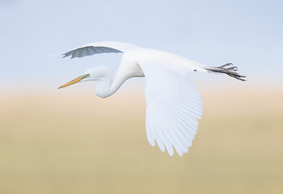 Great Egret over the marsh {Explored!  Thank you very much!}