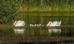 Familie Schwan beim Abendessen (matthias_oberlausitz) Tags: schwäne schwan küken oberlausitz vögel sachsen grenzmühlteich teich oppach