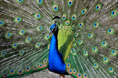 A colourful show-off (in explore) (Gwenael B) Tags: paon colourful peacock écomuséedalsace ecomusée nikond5200 couleurs coloré animal bird display showingoff tamron16300mm feathers plumes