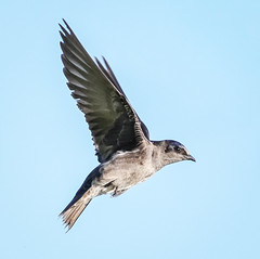 Female Purple Martin (tresed47) Tags: 2018 201804apr 20180423delawarebirds april birds bombayhook canon7d content delaware folder martin peterscamera petersphotos places season spring takenby us ngc