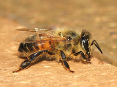 Gold (WinRuWorld) Tags: apismellifera bee honeybee insect invertebrate arthropod gold golden macro macrophotography canon canonphotography apidae nature naturephotography wildlife wildlifephotography outdoors garden dof depthoffield australia nsw newsouthwales westernhoneybee ef100mmf28lmacroisusm
