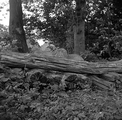 Old wood (Rosenthal Photography) Tags: asa400 rodinal15021°c11min 20180501 mittelformat bnw ff120 schwarzweiss ilfordhp5 analog 6x6 zeissikonnettar51816 bw oldwood wood nature trees backyard garden zeiss ikon netter 51816 novar anastigmat 75mm f45 ilford hp5 hp5plus rodinal 150 epson v800