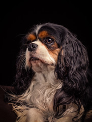 Lilly (Pepenera) Tags: dog dogs cane cani cavalier chat