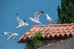 Takeoff and Departure (Bernd Thaller) Tags: rovinj istarskažupanija kroatien hr seagull gull flying stroboscopic mulitexposure multipleexposure roof house sky animal bird timelapse muybridge