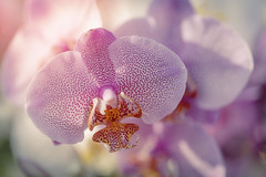 Orchidaceae (Jacko 999) Tags: orchidaceae flower orchid petals flowers pretty beautiful beauty pink robert eede macro canon eos 5ds r ef100mm f28l is usm 5dsr ƒ28 1000mm 1160 iso100