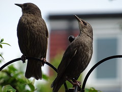DSC00146 (robinsparrow) Tags: starling birding birds birdwatching nature wildlife garden wild outdoor