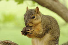 Squirrel, Morton Arboretum. 428 (EOS) (Mega-Magpie) Tags: canon eos 60d nature squirrel wildlife outdoors hungry nut tree the morton arboretum lisle dupage il illinois usa america