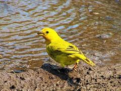 Yellow finch (thomasgorman1) Tags: bird finch yellow saffron wildlife birds outdoors water mud ground canon nature hawaii island