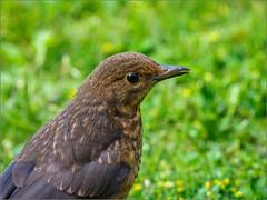 A young blackbird (Phil McIver) Tags: garden blackbird