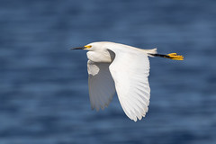 Snowy Egret (Simon Stobart (Catching Up and Editing)) Tags: melbourne florida unitedstates us snowy egret flying egretta thula
