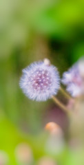 Dandelion play (**capture the essential**) Tags: 2018 fotowalk konolfingen mai may natur schweiz sonya7m2 sonya7mii sonya7mark2 sonya7ii sonyfe2470mmf4zaoss sonyilce7m2 switzerland nature