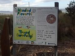 Hooded Plovers! (Baractus) Tags: barkers beach bruny island tasmania australia john oates inala nature tours
