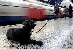 Dog casually waiting for train at Moorgate (Luke Agbaimoni (last rounds)) Tags: london londonunderground londontube train transportforlondon trains transport dogs dog