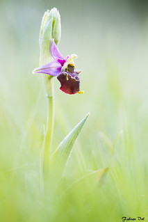 IMG_9998 Vexin - Ophrys bourdon - Ophrys fuciflora
