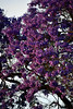 DSC_5886-61 (jjldickinson) Tags: nikond3300 103d3300 nikon55200mmf456gedifafsdxvrnikkor promaster52mmdigitalhdprotectionfilter jacaranda tree flower bloom blossom sunset