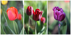 Tulips Showcase (Through Serena's Lens) Tags: tulipsshowcase blooming flora petals flower tulips delicate outdoor garden nature botanical closeup spring springtime colorful red burgundy purple bokeh dof collage canoneos6dmarkii