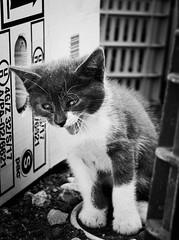 3814 - Yawn! (Diego Rosato) Tags: bruto yawn sbadiglio gatto cat gattino kitten animale animal pet bianconero blackwhite fuji x30 rawtherapee