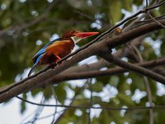 White throated kingfisher (elenaleong) Tags: whitethroatedkingfisher kingfisher birdsofsingapore wildlife nature elenaleong gardensbythebay gbb