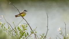 Western Kingbird (Bob Gunderson) Tags: birds california flycatchers heronshead northerncalifornia sanfrancisco tyrannusverticalis tyrantflycatchers westernkingbird