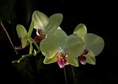Orchid Heaven (MrBlueSky*) Tags: orchid flower petal garden horticulture nature outdoor kewgardens royalbotanicgardens london pentax pentaxart pentaxlife pentaxk1 pentaxawards pentaxflickraward aficionados
