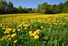 Quand les prés se couvrent de belles têtes jaunes (Excalibur67) Tags: nikon d750 sigma globalvision 24105f4dgoshsma paysage landscape flowers fleurs campagne prairie printemps spring frühling arbres trees nature
