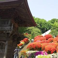 """川崎市宮前区のつつじ寺「等覚院」。 今年の見頃は2週間ほど早くもう満開です。 境内には約2000本のつつじが咲き誇ります。 Azalea Temple """"Togakuin"""" in japan. The best time to see this year is already full bloom about two weeks earlier. About 2,000 azaleas are blooming in the precincts. #azalea #kawasaki #togakuin # (teizoh) Tags: ifttt instagram"""