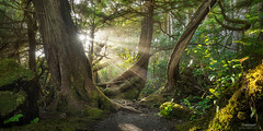 Pacific Light - Botanical Beach, Vancouver Island (Gavin Hardcastle - Fototripper) Tags: vancouverisland botanicalbeach portrenfrew sun rays light forest green warm summer trail trees gnarly hiking west coast gavinhardcastle
