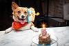 Birthday Girl 113/365 (stevemolder) Tags: cake corgi welsh pembroke six strobist westcott 365 april canon 30mm sigma dog pet birthday