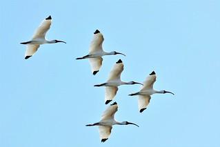 Ibis Flyover