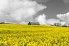 Peeping over the fields of the 'yellow peril'. (l4ts) Tags: landscape derbyshire chesterfield oldbrampton yellow oilseedrape selectivecolour monochrome blackwhite cloudscape caushousefarm circularpolarisingfilter