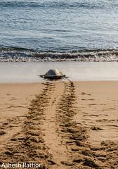 Olive Ridley Turtle (asheshr) Tags: arribada gokurkuda lepidochelysolivacea beach d7200 incredibleindia india nature nikkon nikkond7200 nikkor odisha oliveridley orissa rushikulya sunrise turtle turtles wildanimal wildlife